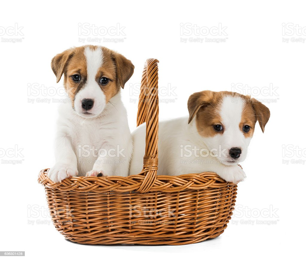 puppies Jack Russell in the basket stock photo