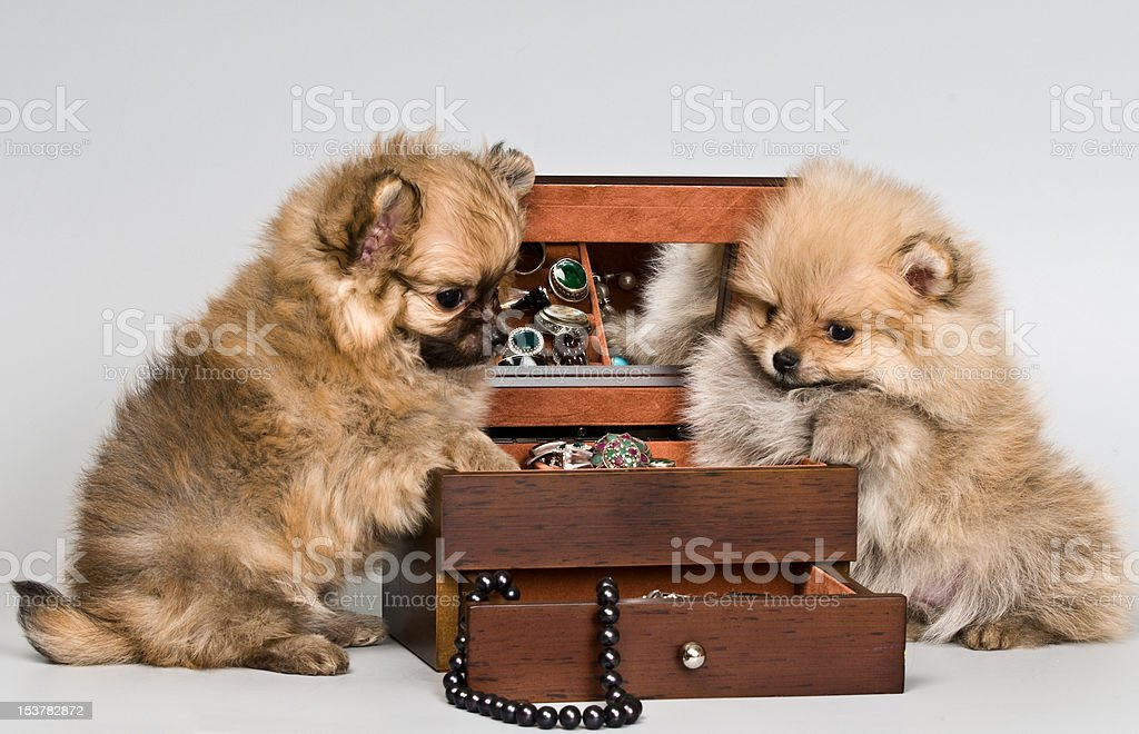 Puppies lapdog with a necklace in studio royalty-free stock photo