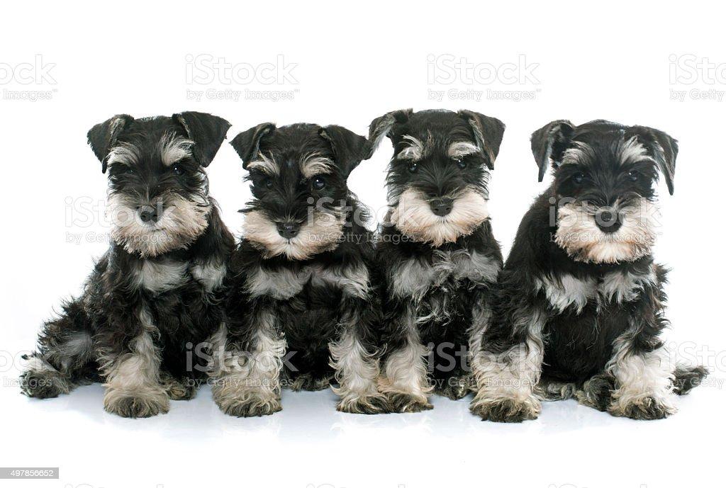 puppies miniature schnauzer stock photo