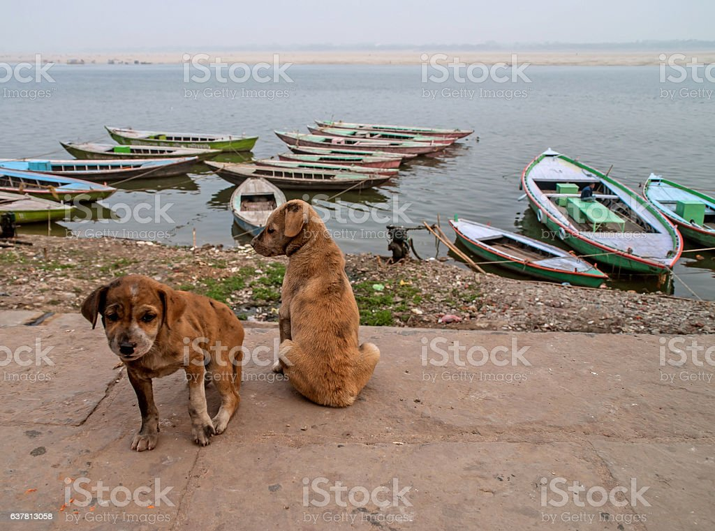 Puppies near Holy Ghats of Varanasi stock photo