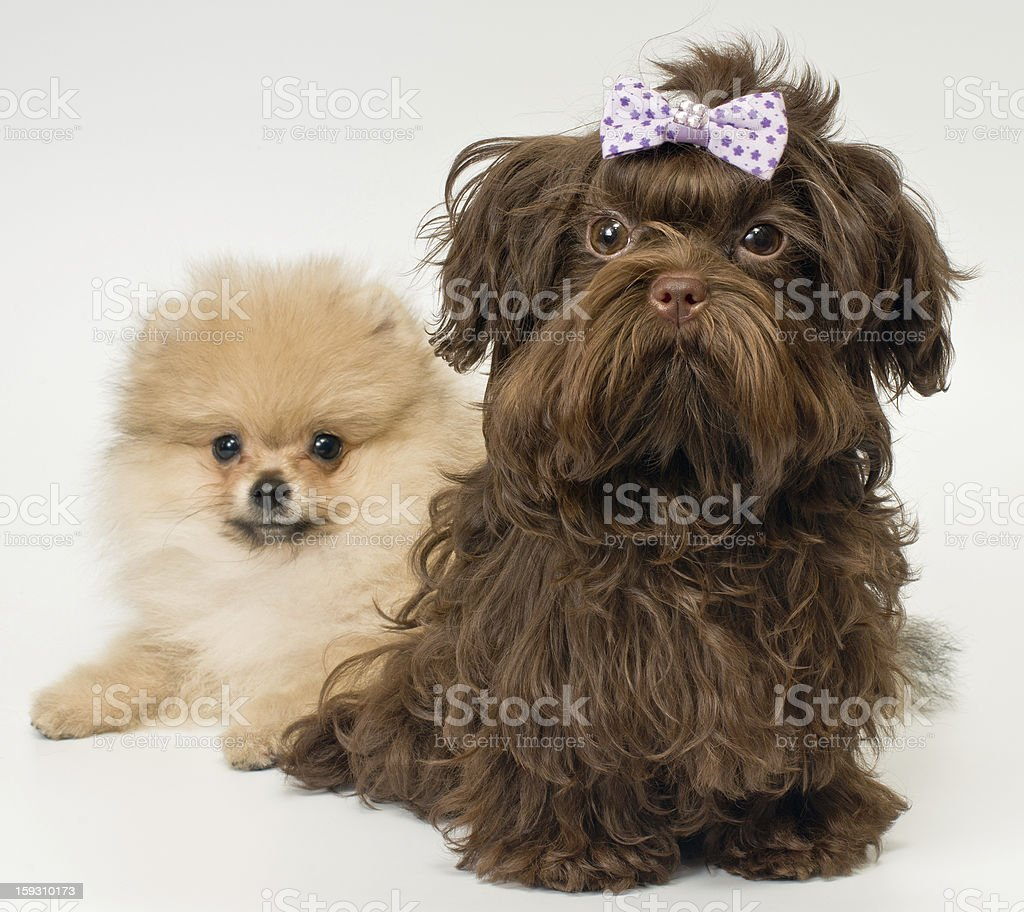Puppies of a spitz-dog and color lap dog royalty-free stock photo