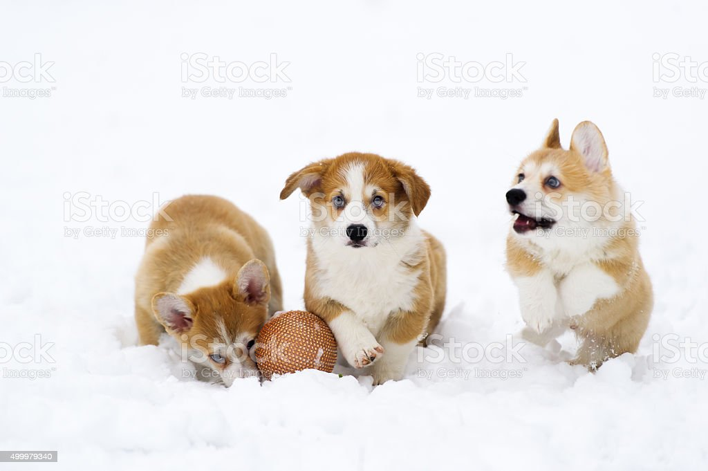 Puppies of breed  Welsh Corgi play on snow stock photo