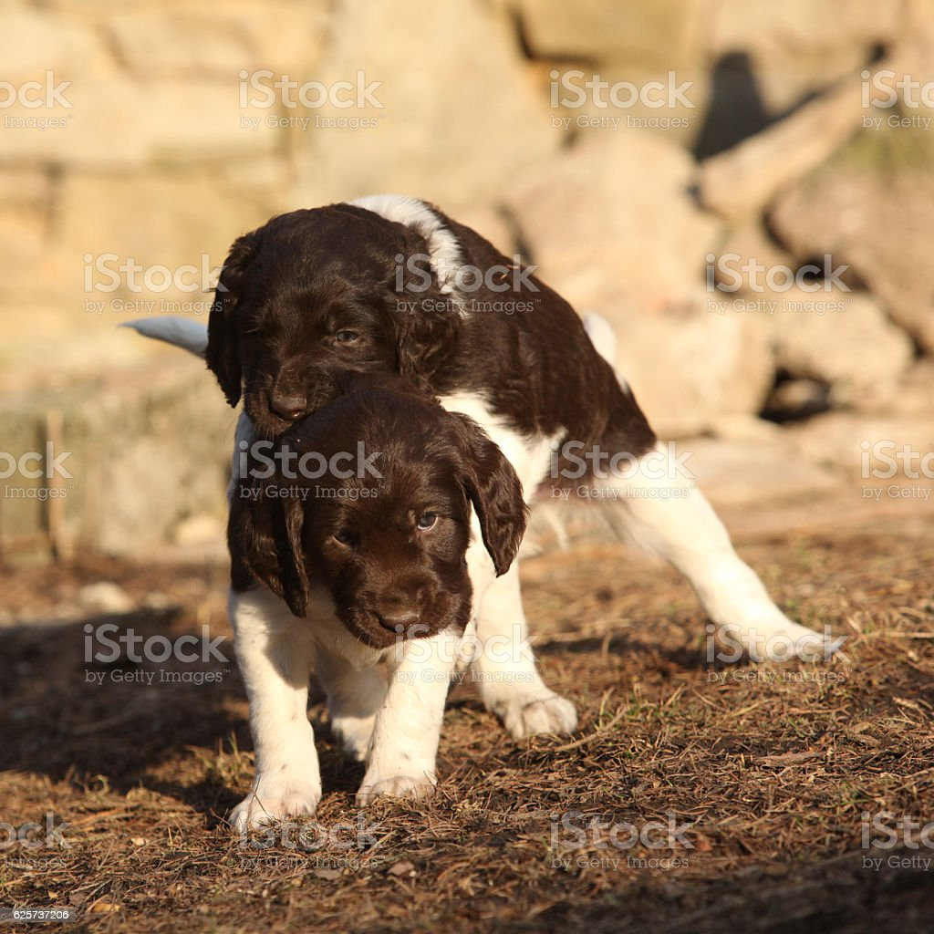Puppies of Small Munsterlander playing together stock photo