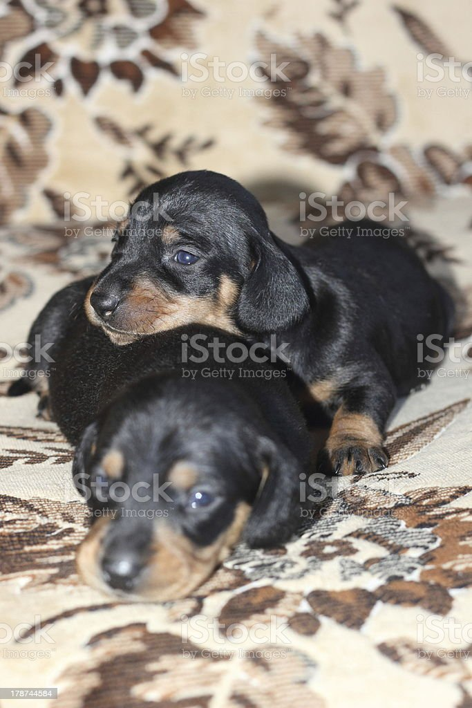 Puppies. royalty-free stock photo