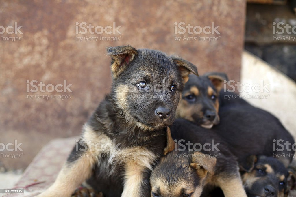 Puppies royalty-free stock photo