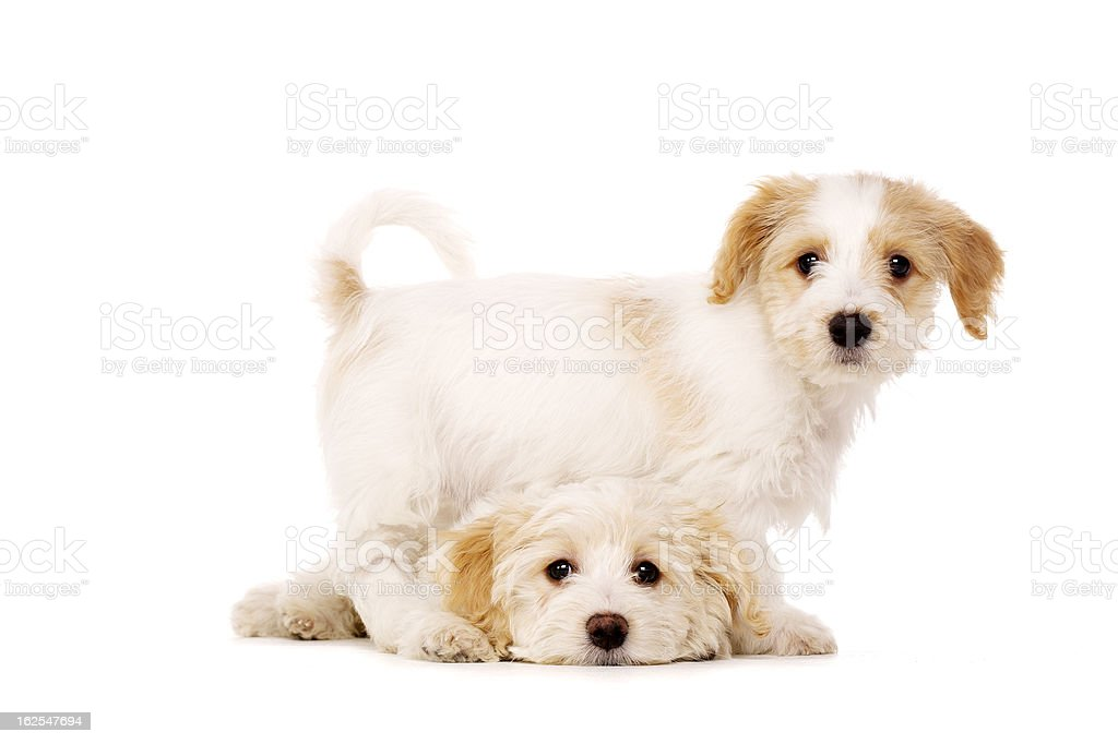 Puppies playing isolated on a white background royalty-free stock photo