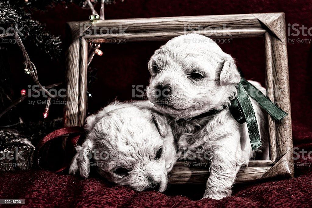 Puppies posing stock photo