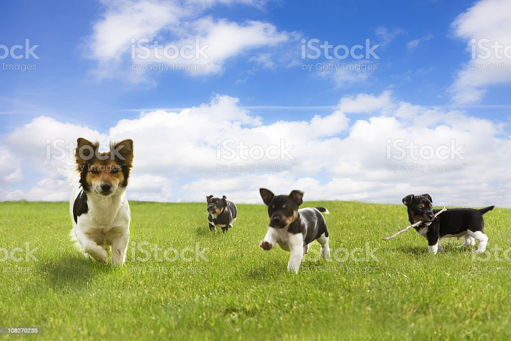 Puppies Running Through Green Field Against Blue Sky stock photo