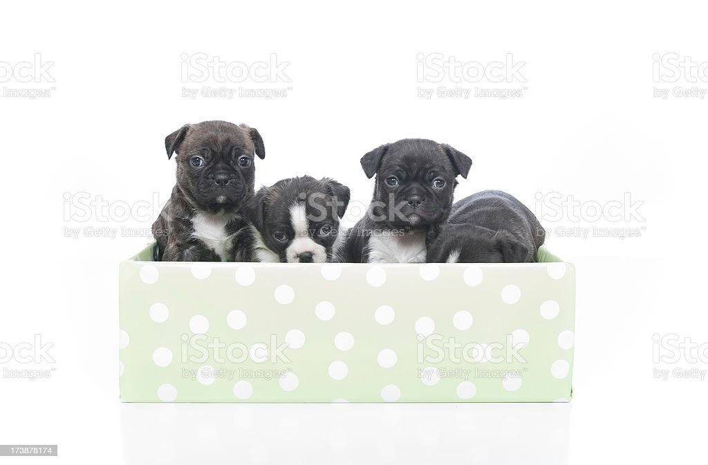Puppies Series royalty-free stock photo