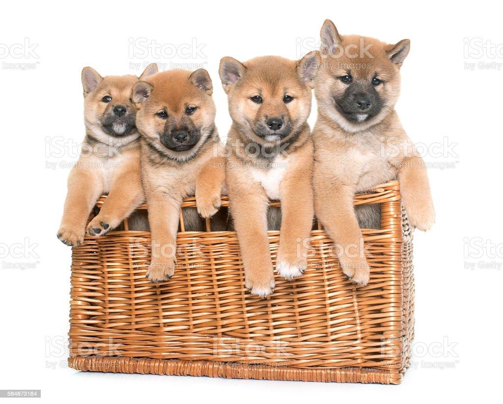puppies shiba inu stock photo