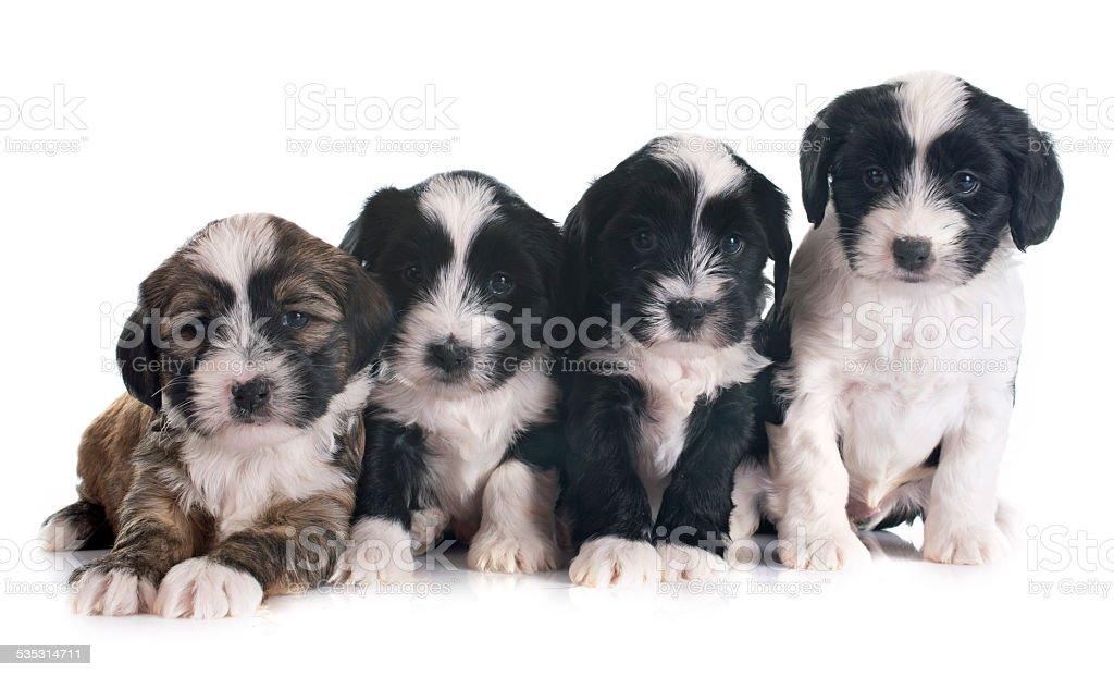 puppies tibetan terrier stock photo