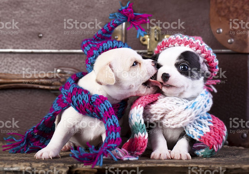 puppies  wearing a knit hat stock photo