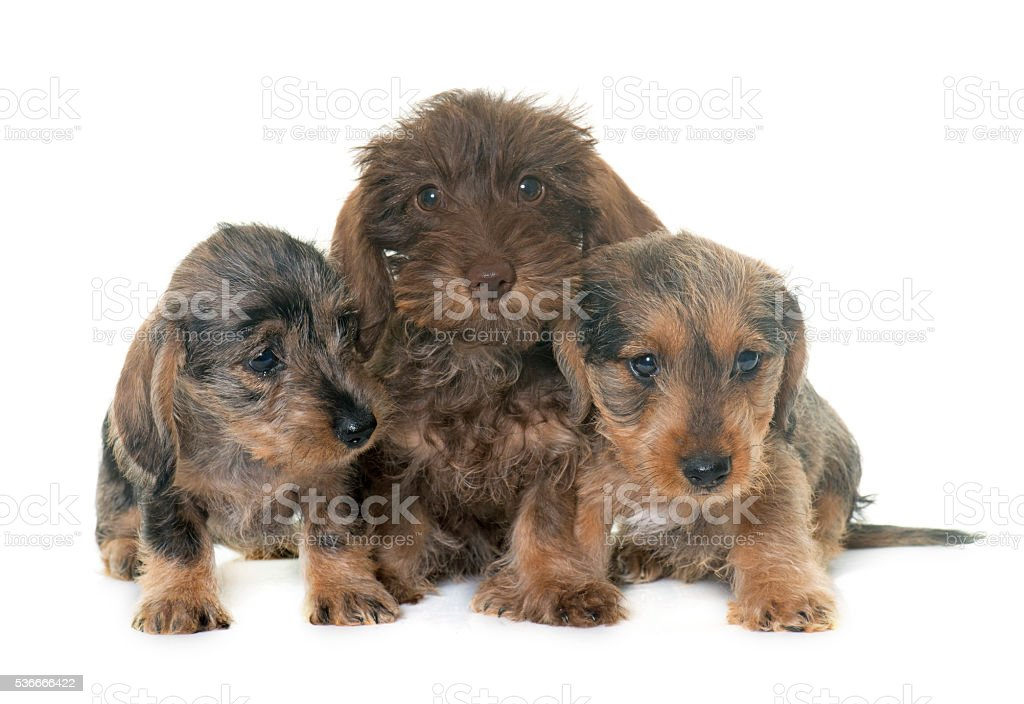 puppies Wire haired dachshund stock photo