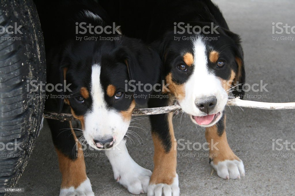 Puppies with a Stick stock photo
