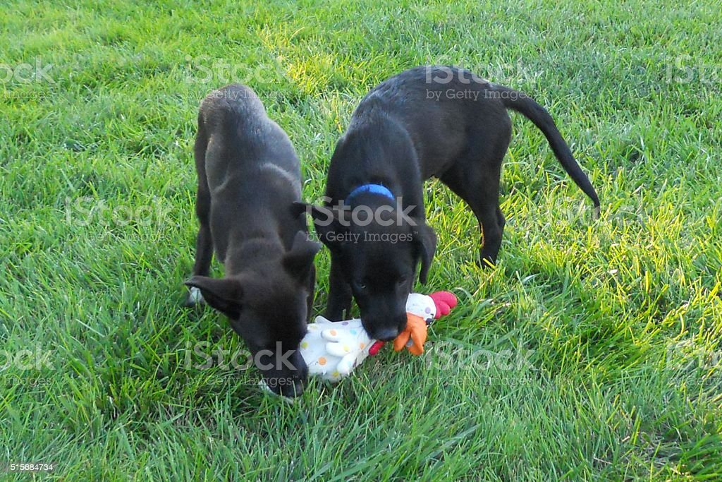 Puppies With Rubber Chicken stock photo