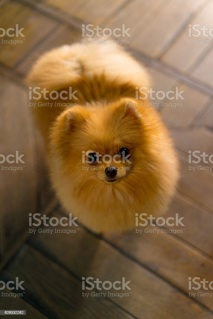 puppy a spitz-dog lying on  floor looking up stock photo