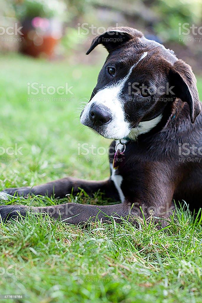Puppy Aarow stock photo