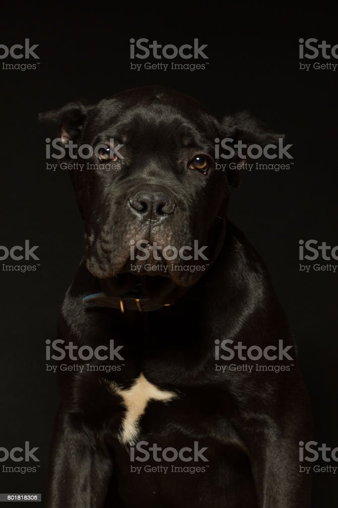 Puppy age 3 months of Cane Corso of black color, on a black background stock photo