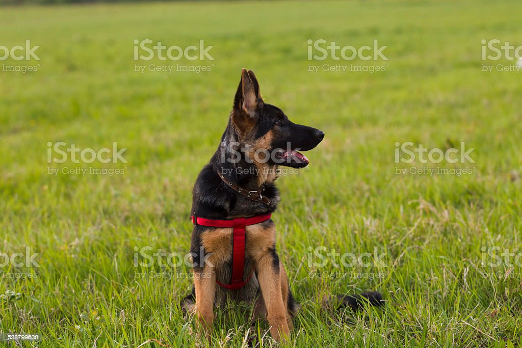 Puppy Alsatian dog in a field on a background of green grass, evening...