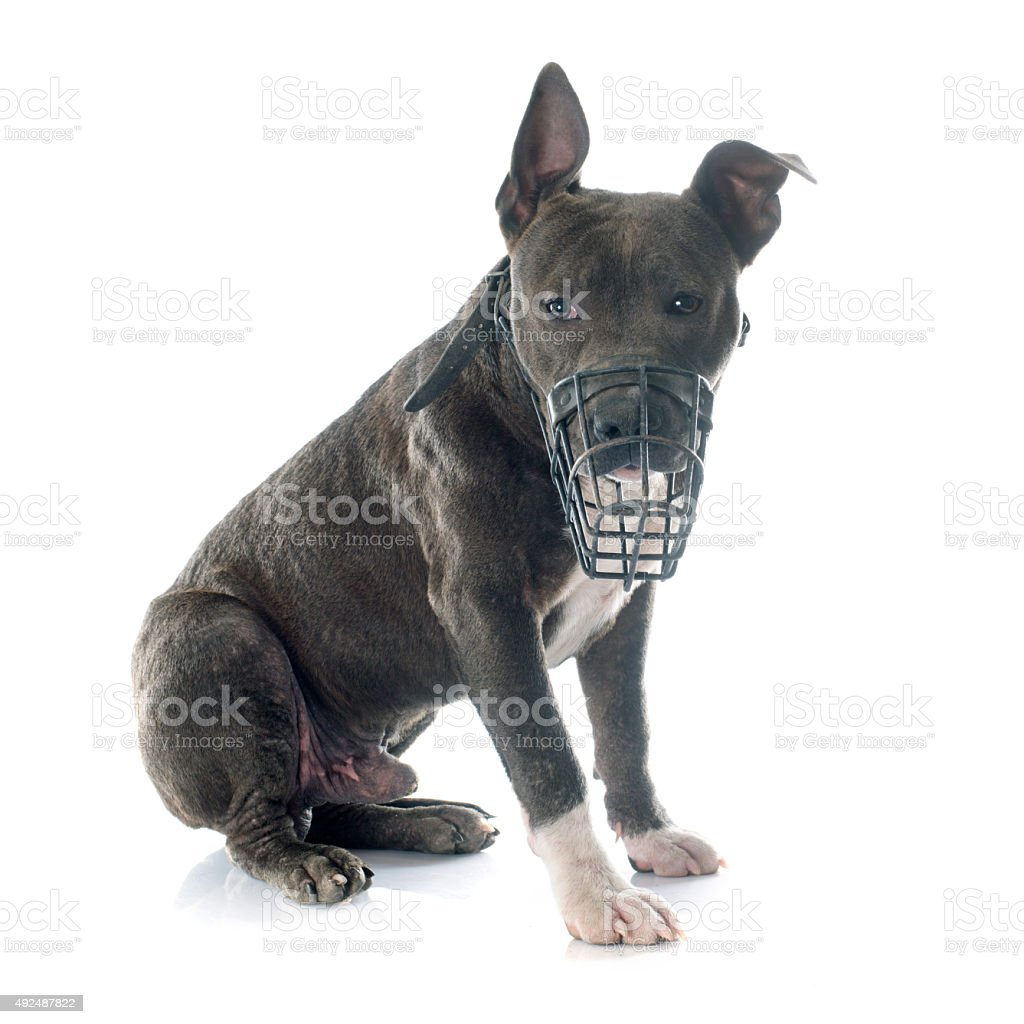 puppy american staffordshire terrier and muzzle stock photo
