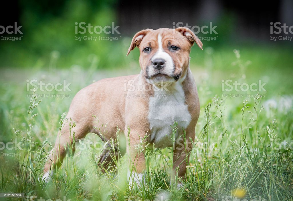 Puppy American Staffordshire Terrier royalty-free stock photo