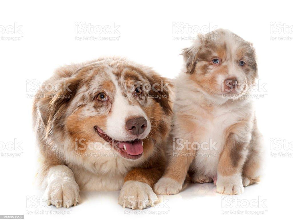 puppy and adult australian shepherd stock photo