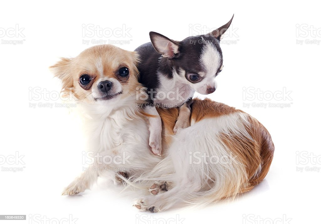 puppy and adult chihuahua royalty-free stock photo