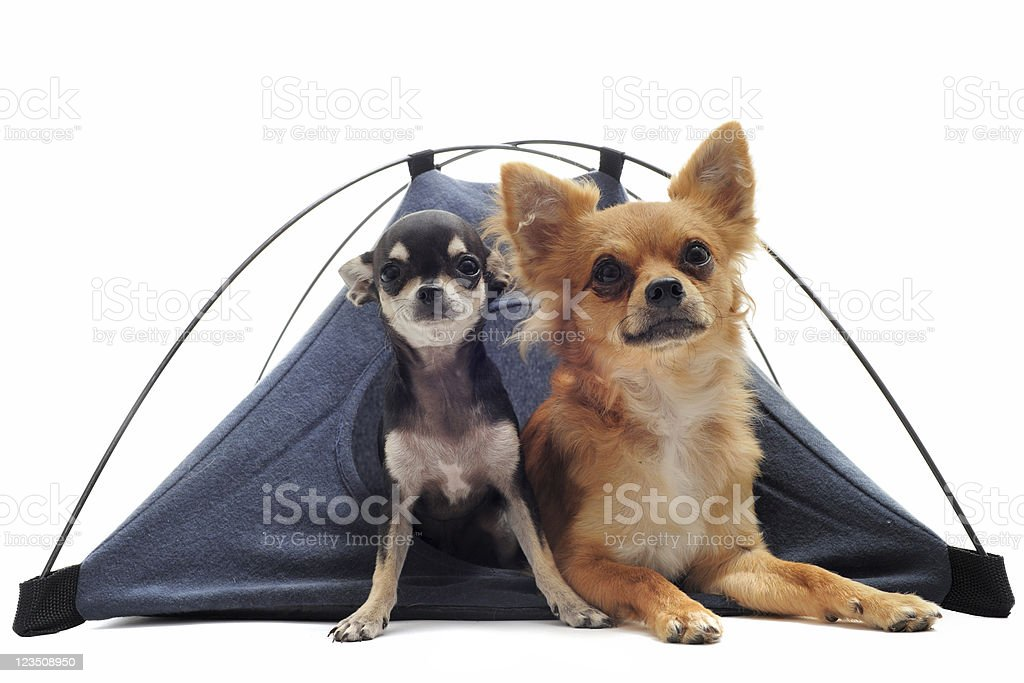 puppy and adult chihuahuas in tent royalty-free stock photo