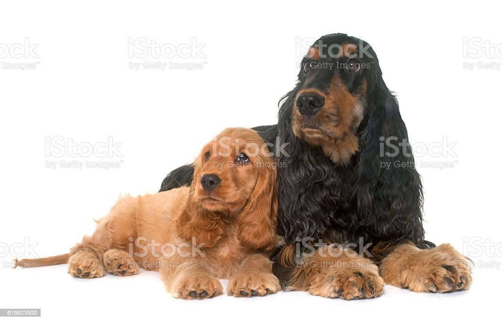 puppy and adult cocker spaniel stock photo