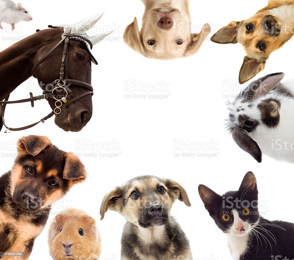 Puppy and kitten and guinea pig stock photo