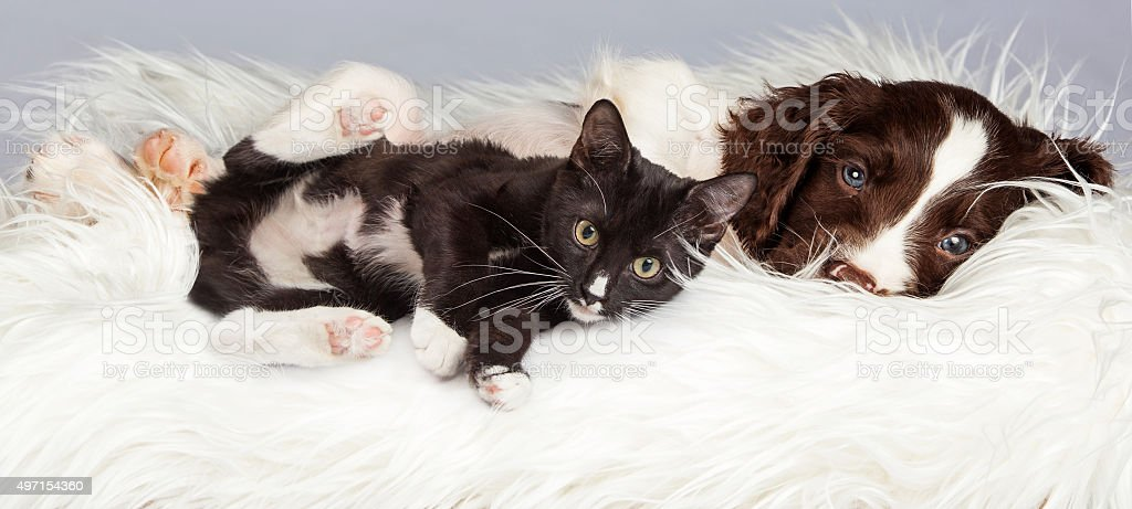 Puppy and Kitten Laying on Furry Blanket stock photo