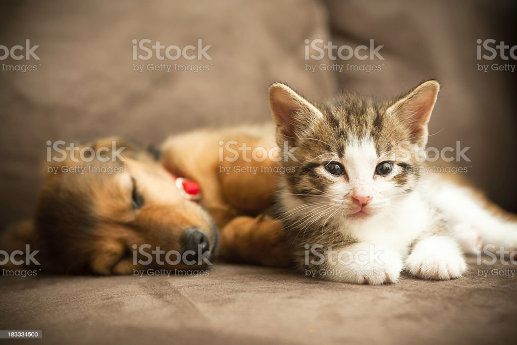 Puppy and Kitten stock photo