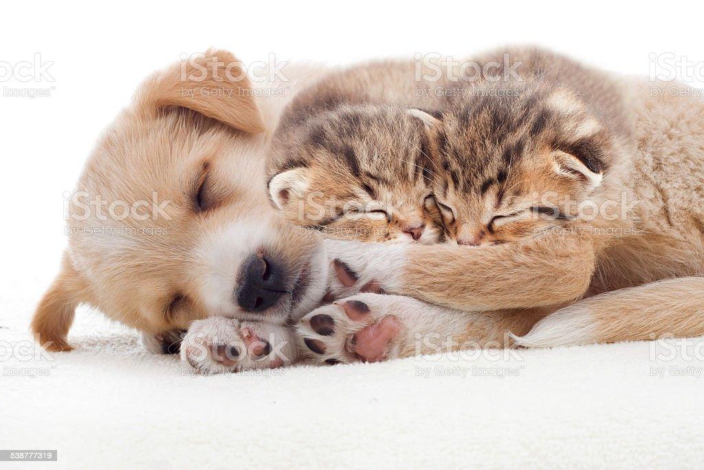 puppy and kittens sleeps stock photo
