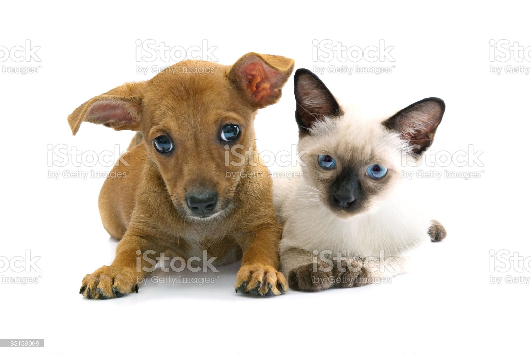 puppy and kitty royalty-free stock photo