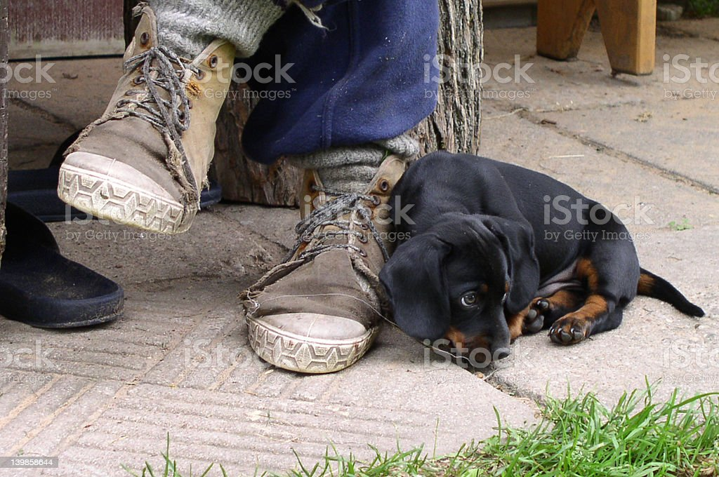 Puppy and Shoes royalty-free stock photo
