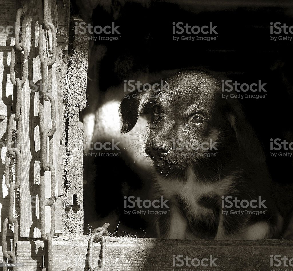Puppy and the chain royalty-free stock photo
