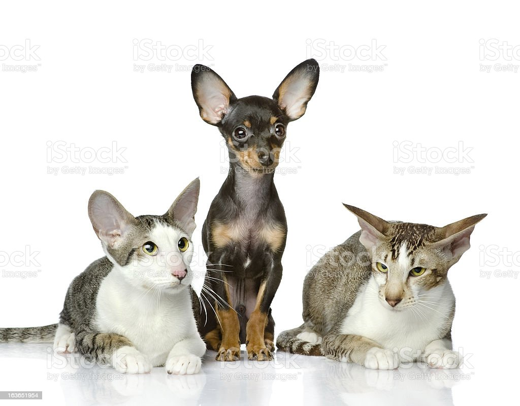 puppy and two oriental cats together stock photo