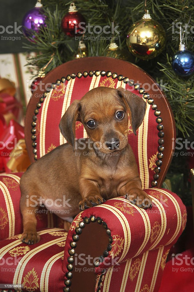 Puppy at Christmas royalty-free stock photo