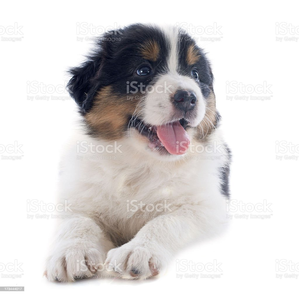 puppy australian shepherd royalty-free stock photo