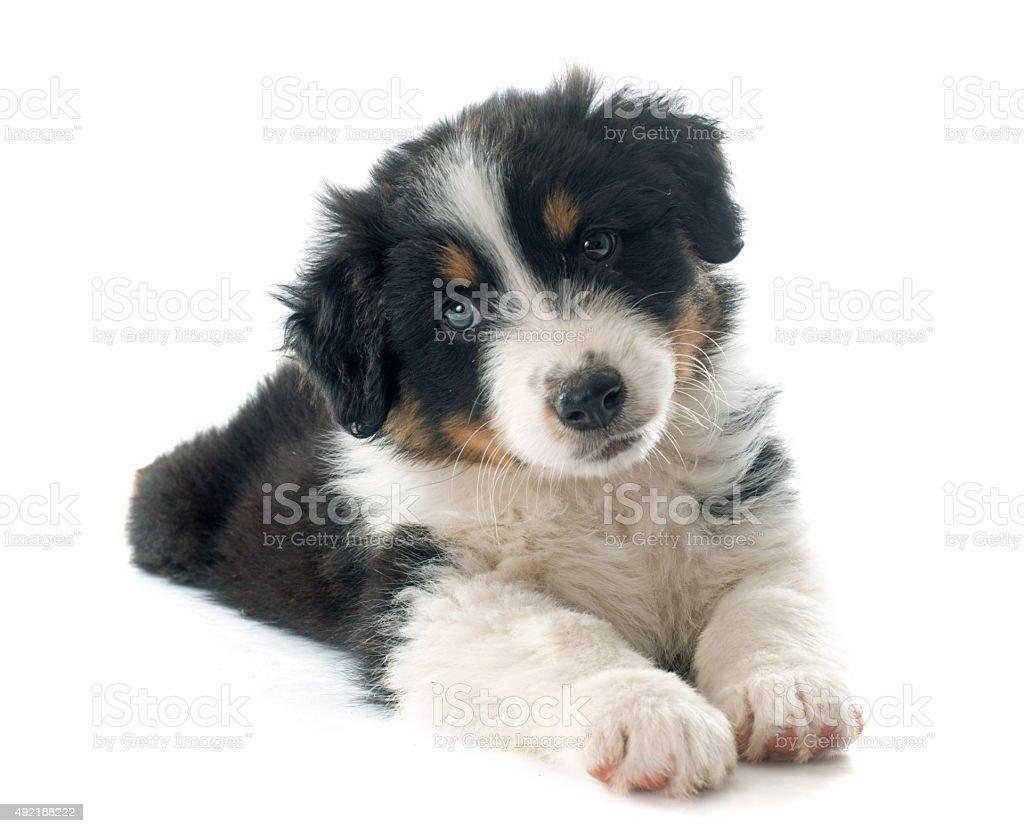 puppy australian shepherd stock photo