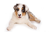 Puppy Australian Shepherd (isolated on white)