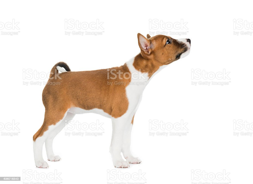 puppy Basenji in a rack on a white background stock photo