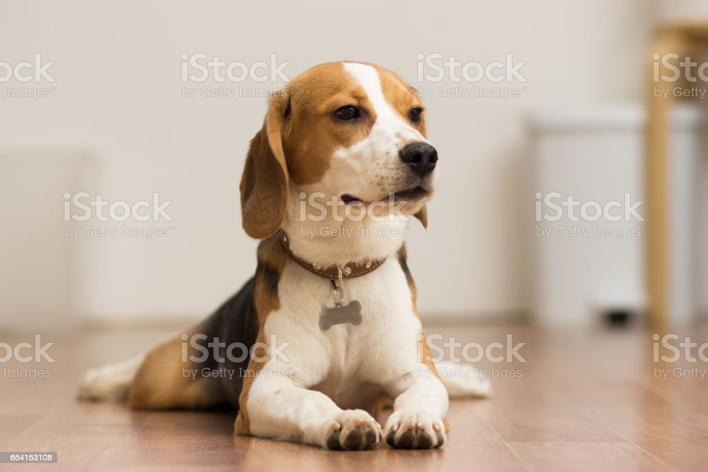 Puppy Beagle 7 months lying on the floor stock photo