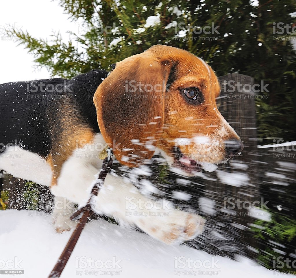Puppy beagle running on snow royalty-free stock photo