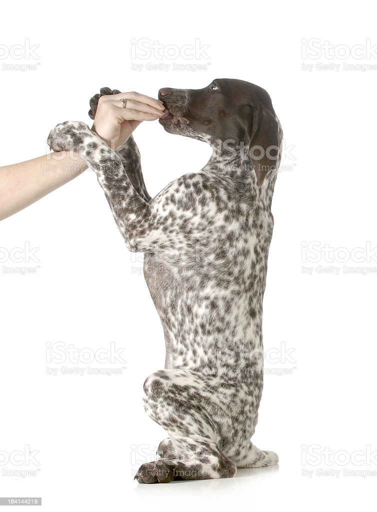 puppy begging royalty-free stock photo
