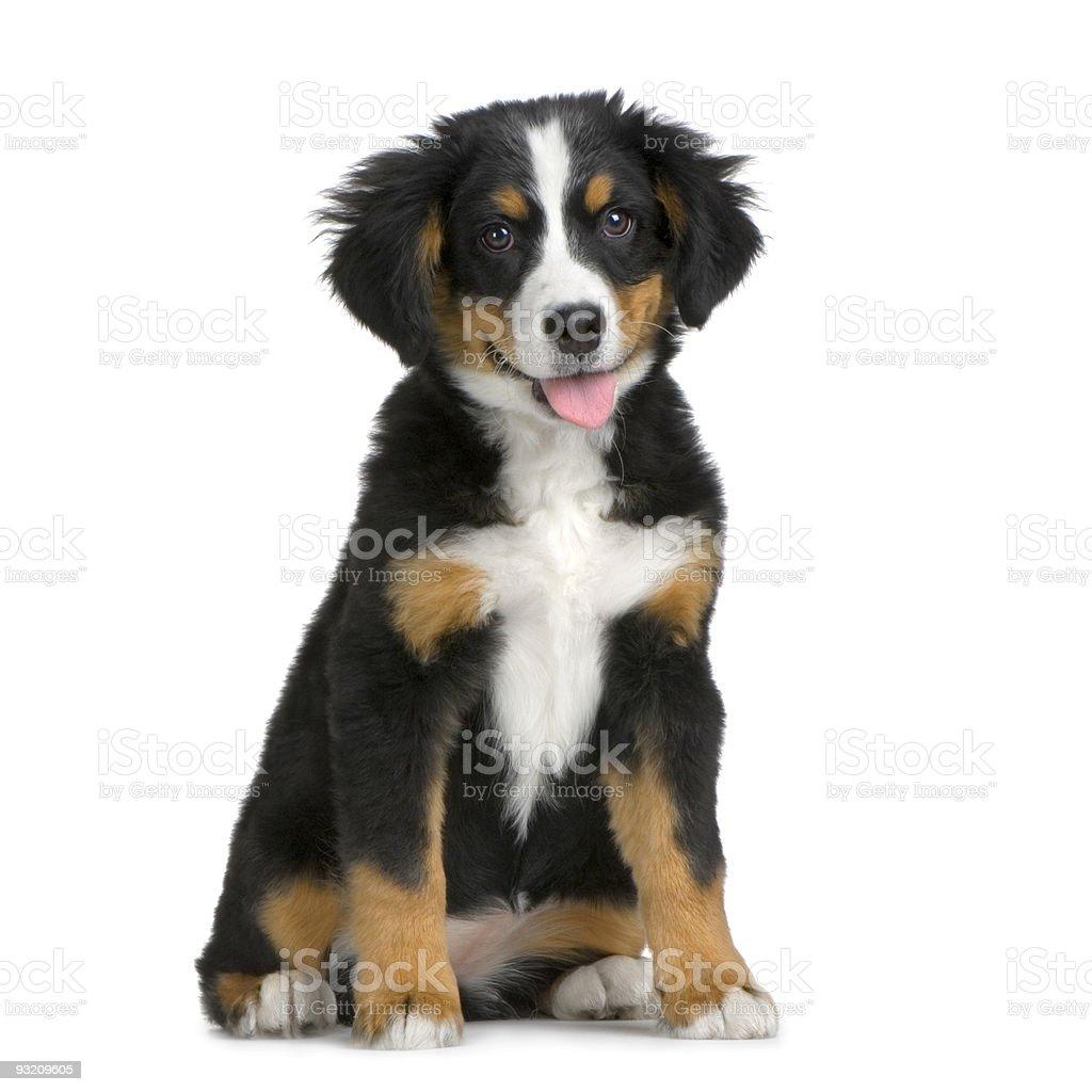 Puppy Bernese mountain dog stock photo