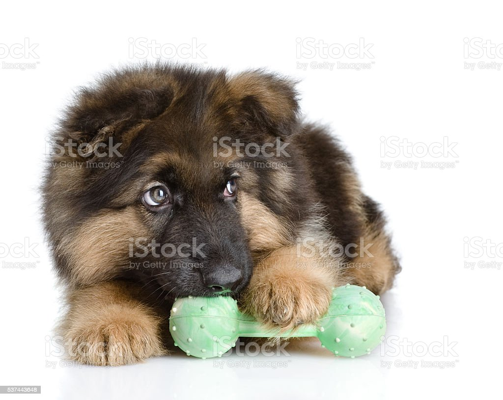 puppy bites a toy. looking away. isolated on white background stock photo