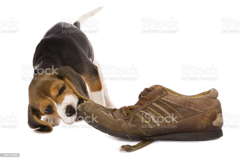 Puppy biting shoe stock photo
