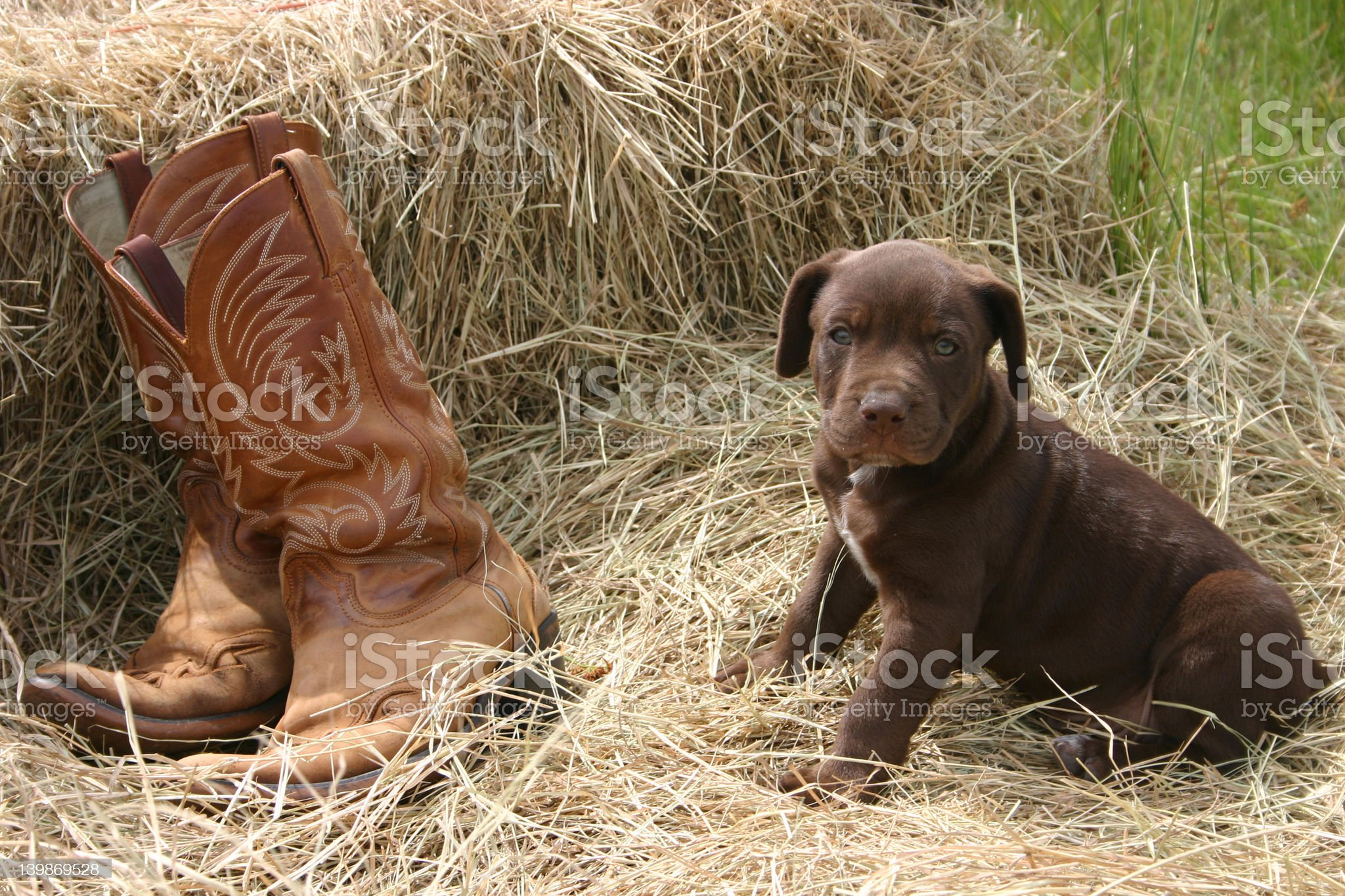 Puppy & Boots royalty-free stock photo