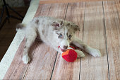 puppy borde collie with toy